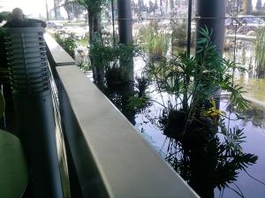 Koi Pond at Aroma Cafe