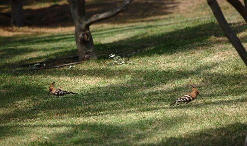 A pair of hoopoes in Vriesland Park