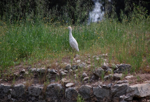 Cattle Egret atop El-Mir Mill