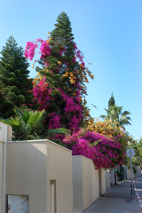 Bougainvillea and tree
