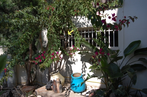 Bougainvillea plant in our front courtyard