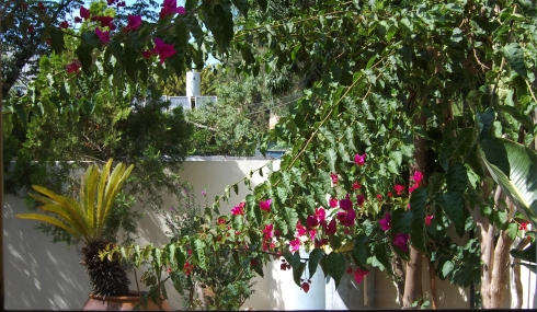 Bougainvillea from our kitchen window in June