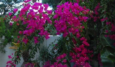 Bougainvillea from our kitchen window in July
