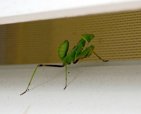Praying Mantis on Window Shutter