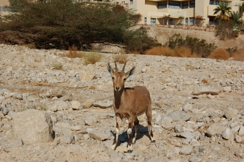 Young Nubian Ibex