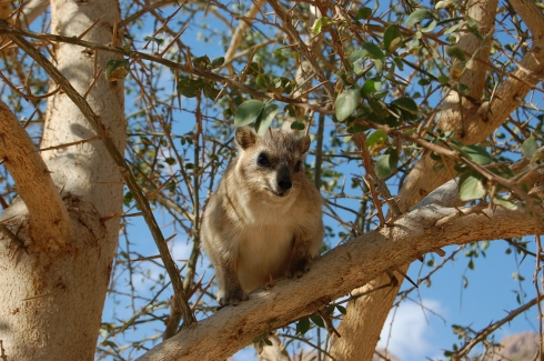 Rock Hyrax in a tree