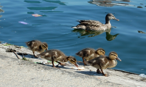 Mama duck and duckling