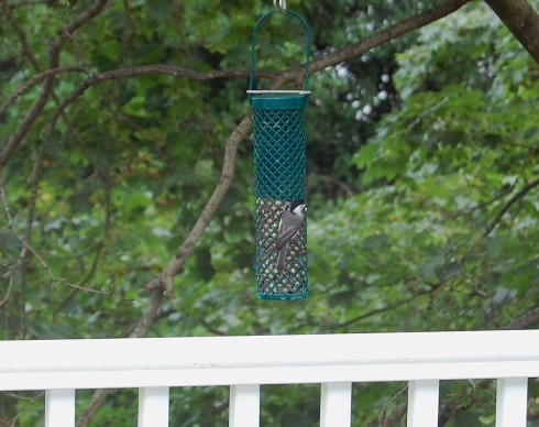 Chickadee at the new peanut feeder