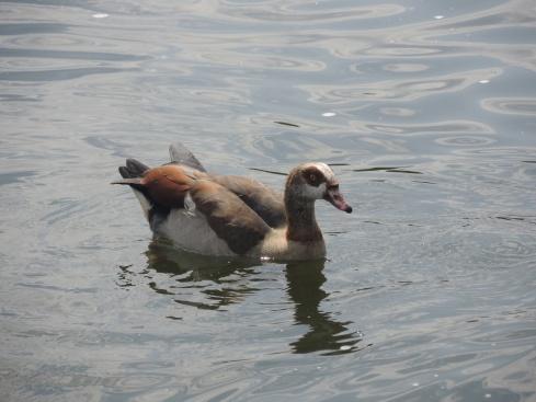Duck in the Serpentine