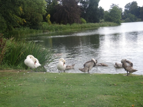Family of swans at Sherborne Lake
