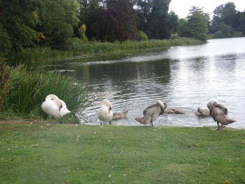 Family of swans at Sherborne Lake