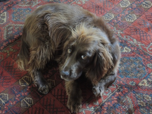 The inimitable Bertie, Heather and Graham's working Cocker Spaniel