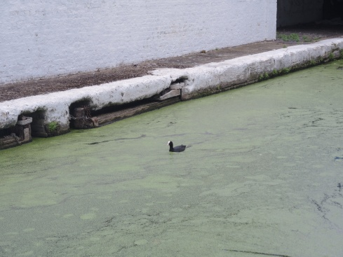 Coot gliding in the canal