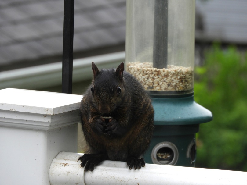 Little black squirrel at our bird feeder
