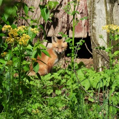 Fox in front of an old barn