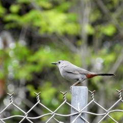 Catbird on a fence post