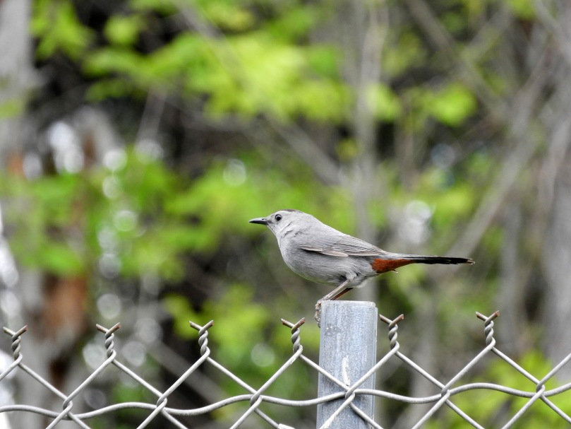 Catbird on a fence post