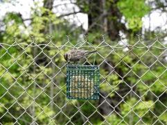 Song sparrow at a suet feeder