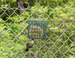Song sparrow at a suet feeder